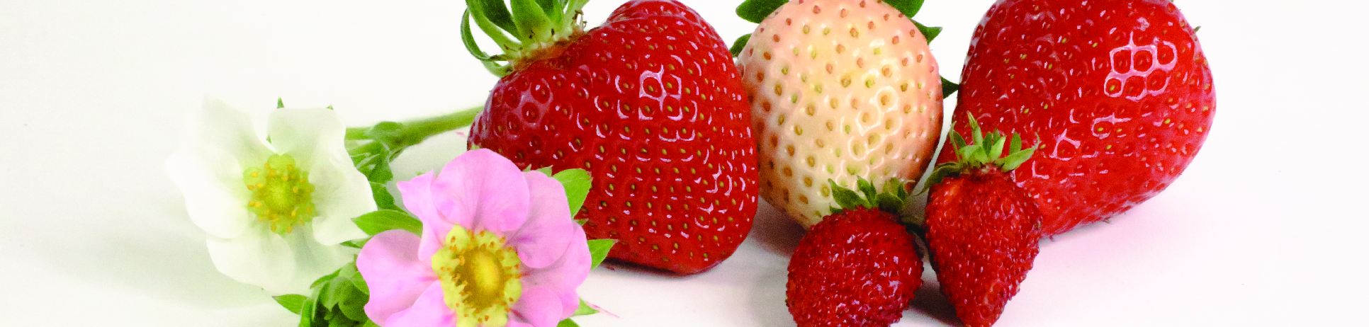 Berrylab Straberry Breeding Varieties